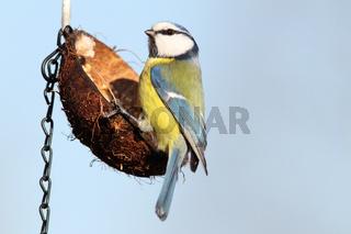 hungry blue tit ( parus caeruleus ) standing  on hanging lard feeder