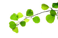Branch-of-alder-with-green-leaves-isolated-on-white