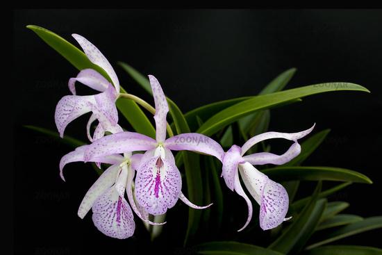 Orchidee Brassolaelia Cattleya