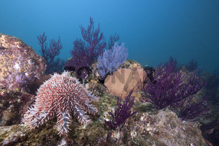 Dornenkrone am Riff, Mexiko