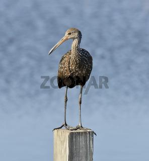 Limpkin Bird