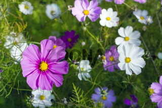 Pink and white daisies