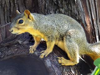 Eastern Fox Squirrel sitting on a tree