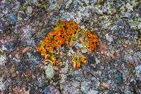 Flechten, Spitzbergen, Norwegen