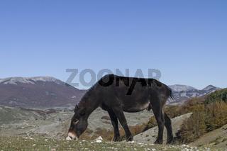 Maultier im Apennin