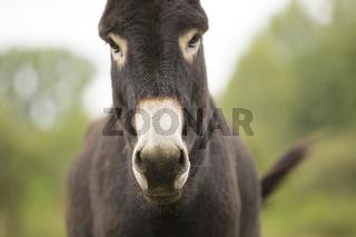 Hausesel, Equus asinus asinus, donkey
