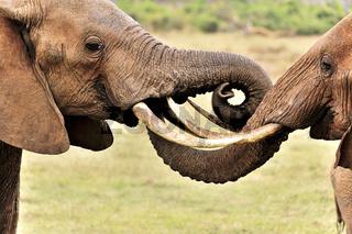 Elefanten spielen mit ihrem Rüssel