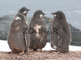 Kindergarten Adelie penguin chicks.