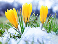 Blooming-crocuses-and-snow-shooting-from-ground-level-with-shallow-depth-of-field