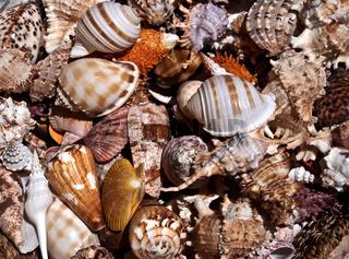 Meeresmuscheln