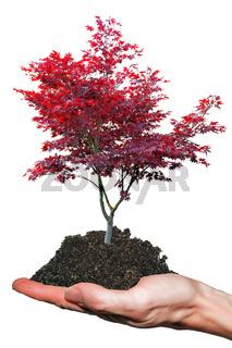 Roter Japanischer Ahornbaum auf Hand