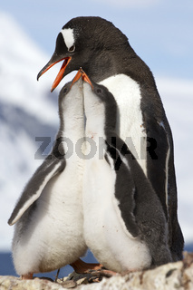 two chicks and female Gentoo penguins at feeding time