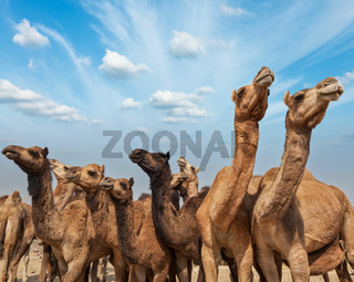 Camels at Pushkar Mela (Pushkar Camel Fair). Pushkar