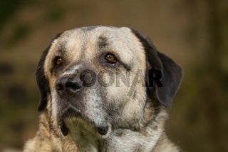Kangal Portrait