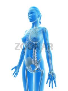 rendered illustration of the female skeleton