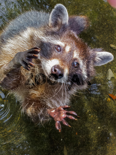 Raccoon begging for more