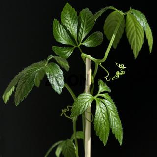 Jiaogulan, Unsterblichkeitskraut, Gynostemma pentaphyllum