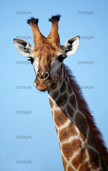 Giraffe vor blauem Himmel, Kruger Nationalpark, Südafrika, giraffe with blue sky, Kruger national park, South Africa