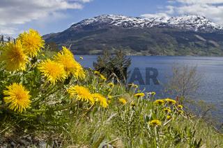 Löwenzahnblüte am Fjord