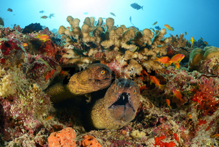 Gymnothorax flavimarginatus, Gelbgefleckte Muraene, Zwei Muraenen im Korallenriff, yellow edged moray, Two morays in coralreef, Malediven, Maldives