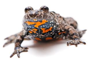 Bombina bombina. European Fire-bellied toad on white background.