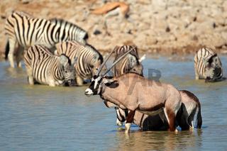 Gemsbok and zebra in water