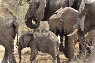 kleiner Elefant in der Mitte seiner Familie