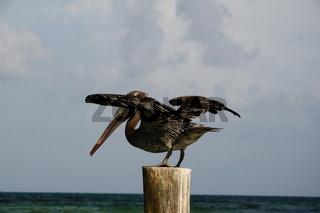 Pelikan beim Abflug