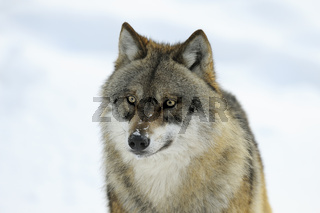 Europäischer Wolf, Canis lupus