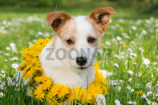 Hund in Blumenwiese