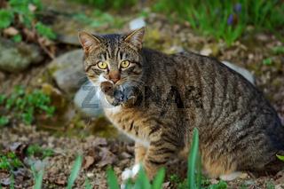 Katze mit erbeuteter Maus