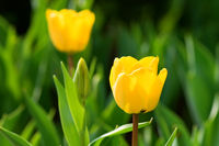 Close view of two yellow tulips with green background