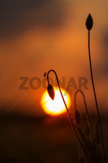 Mohnknospe Sonne
