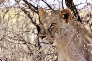 Gesicht und Augen eines Löwen