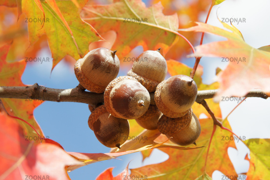 Quercus rubra, Amerikanische Roteiche, american red oak, Eicheln
