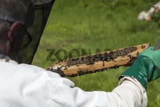 Imker prüft sein Bienenvolk auf einer Wachswabe