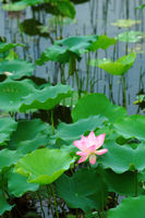 The lotus flower and leaves over pond water