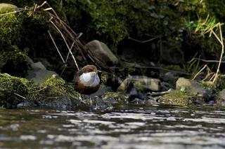 Wasseramsel (Cinculus c. aquaticus)