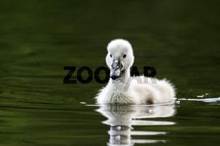 Junger Höckerschwan / Cygnus olor