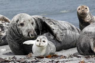 Kegelrobbe und Seehund am Strand