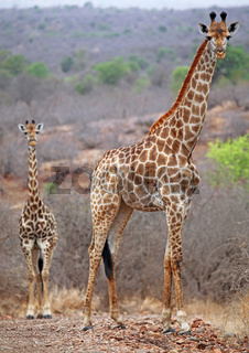 Giraffen im Kruger Nationalpark, Südafrika, giraffes, Kruger national park, South Africa