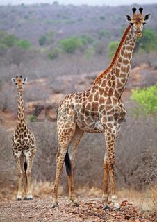 Giraffen im Kruger Nationalpark, Südafrika, giraffes, Kruger national park, South Africa