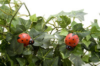 Käfer mit Efeupflanze