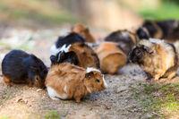 Guinea pigs .Cavia porcellus