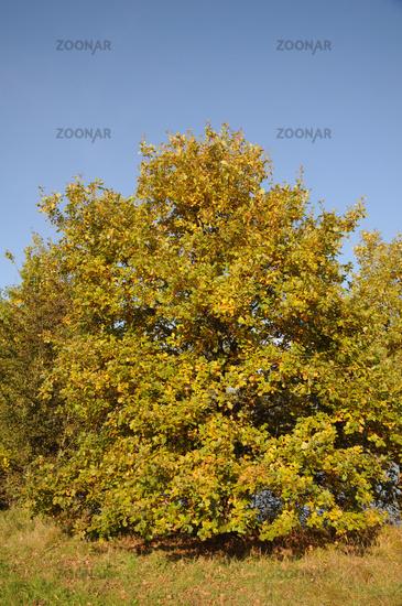 Foto Quercus Robur Stieleiche German Oak Herbst Bild 6520065