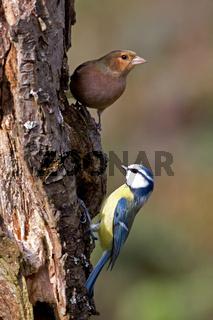 Buchfink und Blaumeise