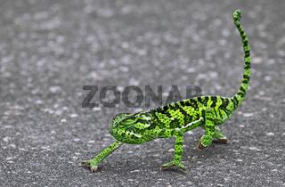 Chamäleon läuft auf Straße, Kruger Nationalpark Südafrika; chameleon on the street in Kruger National Park, South Africa