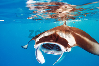 Manta ray floating underwater