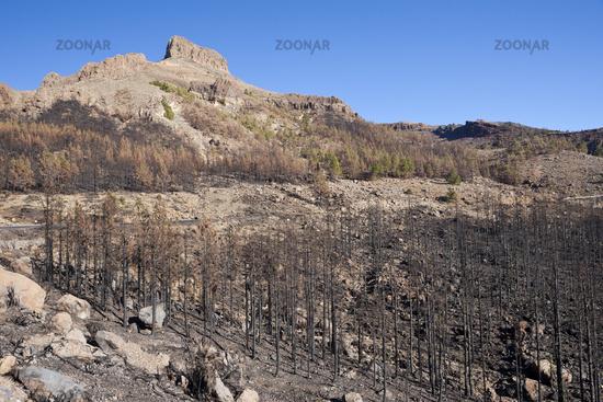 Verbrannte Kiefern nach Waldbrand in der Teide Region, Teneriffa