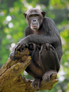 Common Chimpanzee